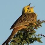 lind laulab